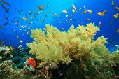 Soft Coral and Anthias poster
