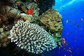 Acropora and Porites corals poster