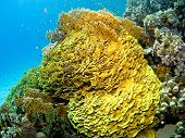 Colourful and healthy coral in the Red Sea Egypt poster