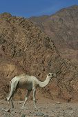 Camel (Dromedary) with the Sinai Mountains in the background poster
