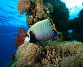 Emperor Angelfish on beautiful coral reef poster