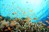 Lyretail Anthias fish on a tropical coral reef with hard corals poster