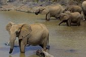 Herd of African Elephants quench their thirst poster