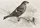 Old illustration of Pine Grosbeak (Pinicola enucleator). Created by Kretschmer and Niedermann, published on Merveilles de la Nature, Bailliere et fils, Paris, 1878 poster