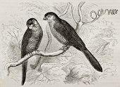 Old illustration of Common Waxill (Estrilda astrild). Created by Kretschmer and Niedermann, published on Merveilles de la Nature, Bailliere et fils, Paris, 1878 poster
