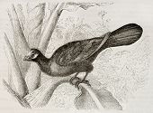 Violet Turaco old illustration (Musophaga violacea). Created by Kretschmer and Jahrmargt, published on Merveilles de la Nature, Bailliere et fils, Paris, 1878 poster