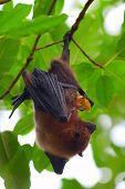 Fruit bat (pteropus giganteus) hanging on the tree poster