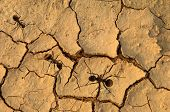 ant with global warming concept of cracked ground poster
