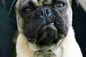 Snarling Pug