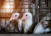 Two young broiler chicks are sitting in an aviary at a poultry farm, close-up, broilers poster
