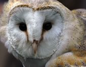 Portrait of the face of a Barn Owl poster