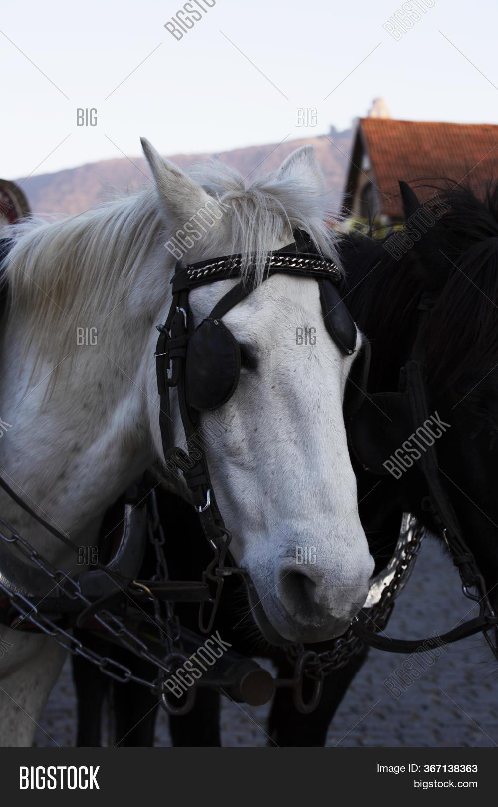 Two Horses White Image Photo Free Trial Bigstock