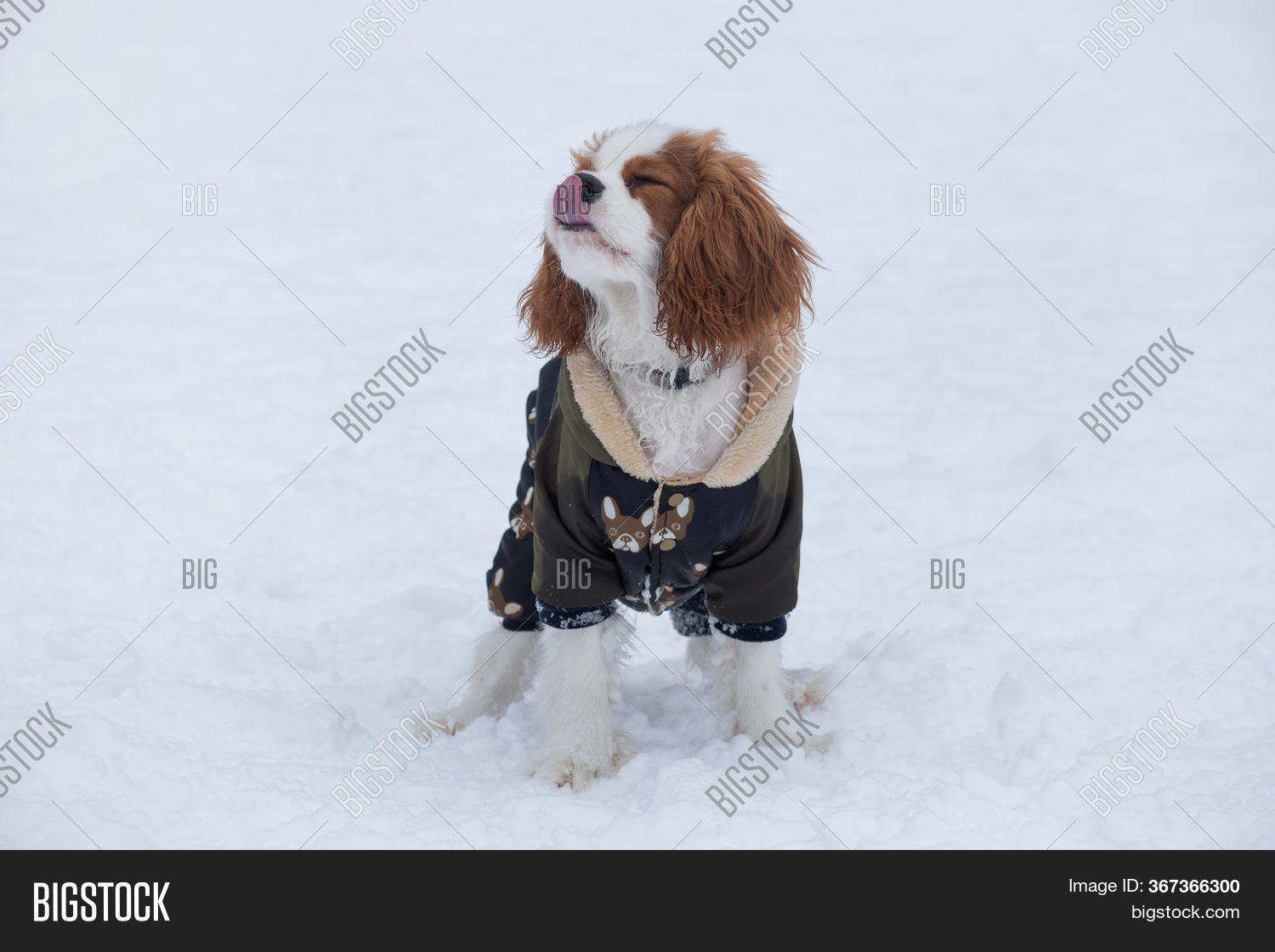 Cute Cavalier King Image Photo Free Trial Bigstock