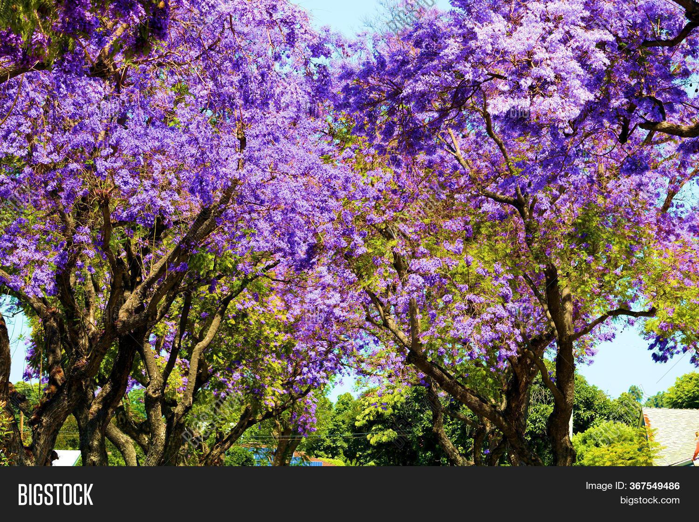 Jacaranda Trees Purple Image Photo Free Trial Bigstock