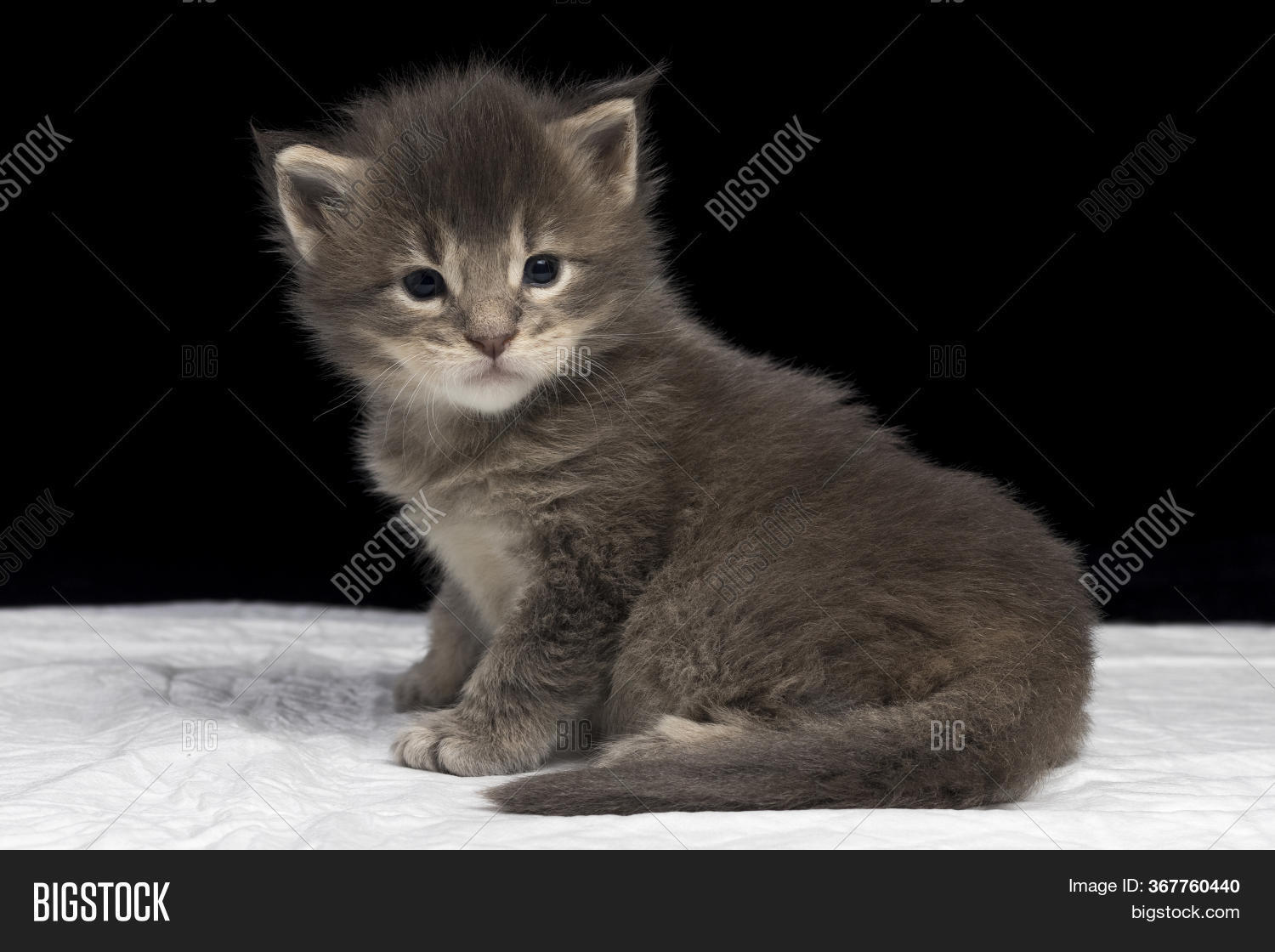 Maine Coon Kitten 2 5 Image Photo Free Trial Bigstock