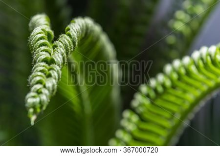 Curling Fronds Of Palm Or Fern In The Sun