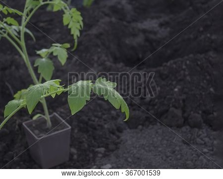 A Tomato Seedling In A Pot Stands Near A Hole In The Ground. Growing Vegetables. Planting Seedlings