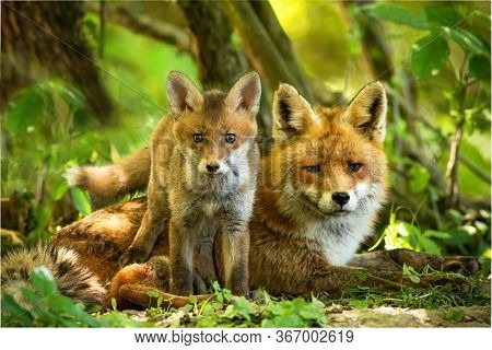 Enchanting Red Fox Family Resting In Green Summer Forest Near Den