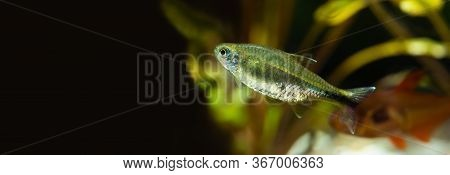 Beautiful Aquarium Still Life Scene, Macro View Exotic Fish Silver Tipped Tetra. Freshwater Aquarium