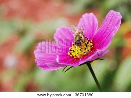 Bee Extracting Nectar
