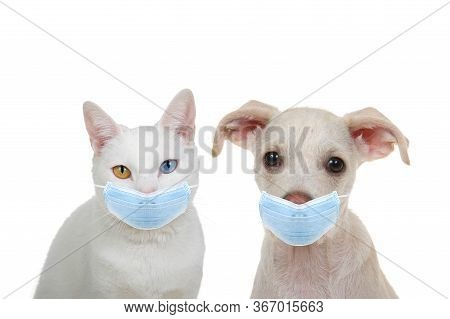 White Cat With Heterochromia, Odd Eyes, Looking Directly At Viewer With Intense Stare Sitting Next T
