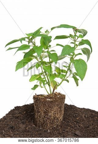 Pineapple Sage Plant, Fresh From Pot, Root Bound. Sitting On Layer Of Dirt Ready To Be Planted, Isol