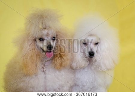 Dog Poodle White And Cream Two Little Beautiful Poodles Postcard Dog Show Shaggy Poodle Smile Dog An