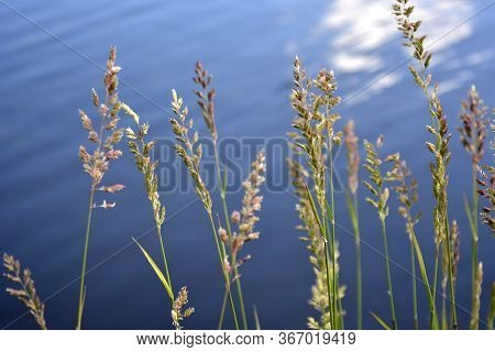 Saint Petersburg, Russia. June, 26, 2015. Inflorescences And Ears Of Field Grasses Against The Blue