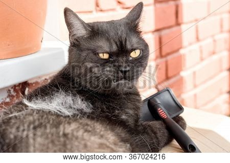 Shedding Cat Doesn\'t Like Grooming Process Making Angry Face And Holding A Brush