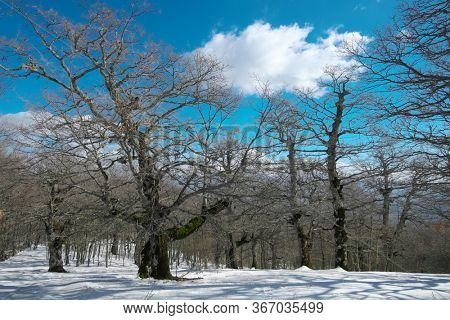 winter forest of bigs oaks trees in the Nebrodi Mountains of Sicily natural landmark