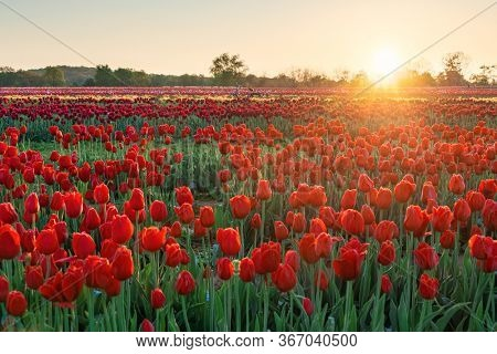 Tulip in farm with beautiful colors in Spring at sunrise.