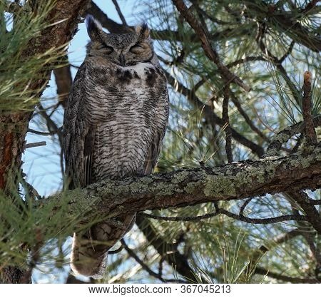 A Very Sleepy Great Horned Owl Rests High In A Large Pine Tree.