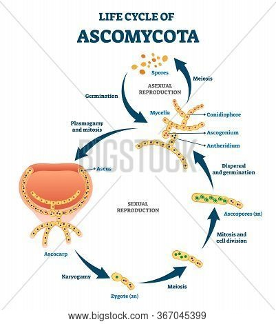 Life Cycle Of Ascomycota Vector Illustration. Labeled Fungi Reproduction Scheme With Sexual And Asex