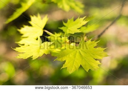 Young Green Maple Leaves On A Branch. Beautiful Background, Bokeh. Forest Landscape, Solitude, Tranq