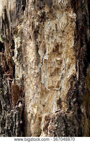 Old Rotten Wood Alder. Old Weathered Mouldering Tree. Weathered Tree Destruction. Background Or Text