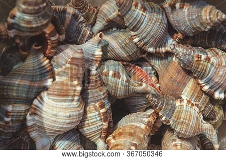 Sea Mollusks Close-up. Background From Exotic Shells. Concept Group Of Sea Shells. Seashells Backgro