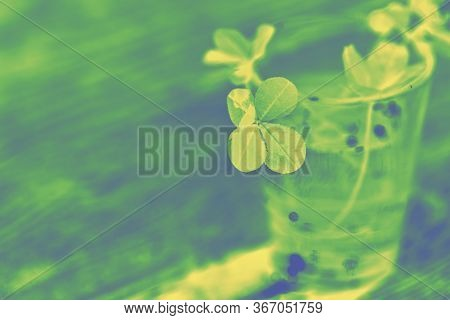 Toned Photo Of Four Leaf Clover In Green Yellow Tones. Four-leaf Clover Glass With Water Wooden Back