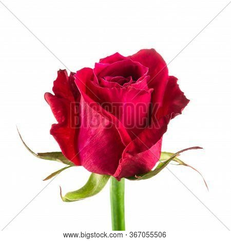 Beautiful Red Rose Red Close-up, Rose Isolated On A White Background