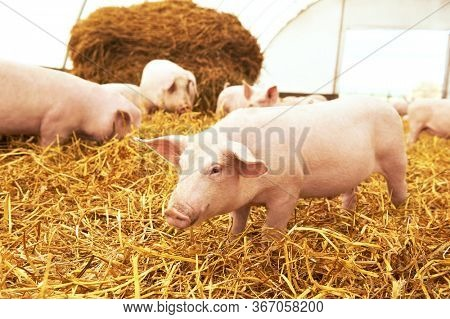 piglet on hay and straw at pig breeding farm