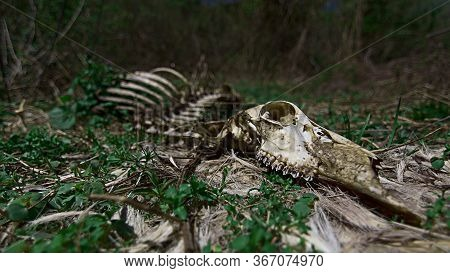 Animal Deer Skeleton That Has Decomposed Slowly In A Field With Green Foliage Around Through The Car
