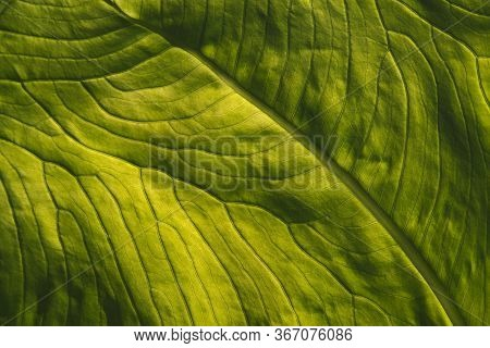 Leaf From Elephant Ear Plant Back Lit Close Up Showing The Texture And Veins Of It.