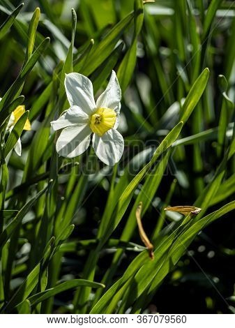 White Narcissus, A Plant With The Latin Name Narcissus In The Garden, Macro