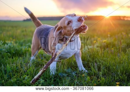 Funny Dog Of The Beagle Breed With A Stick In His Teeth During A Walk In Nature Against The Backgrou