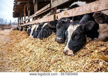 A Dairy Farm With Cows Chews Sawdust. Cattle.
