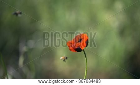 Bees Collecting Nectar.handsome Poppy In Splendid Isolation.the Dominant Red.the Flower Is Odorless.