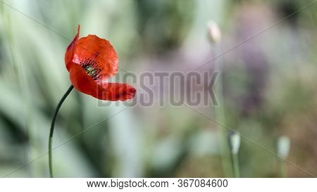 Handsome Poppy In Splendid Isolation.the Dominant Red.the Flower Is Odorless.poppies In The Rainbow