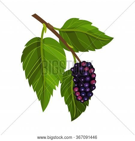 Branch Of Mulberry With Lobed Leaf And Fully Ripe Black Berry Vector Illustration