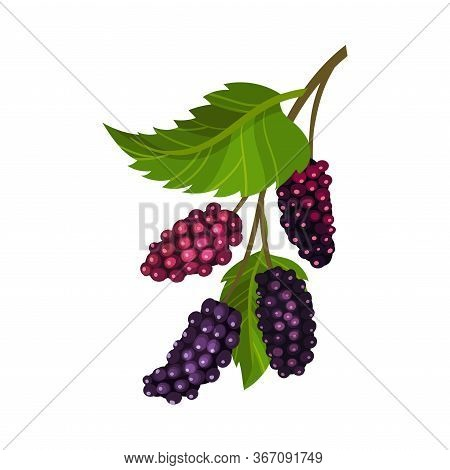 Branch Of Mulberry With Lobed Leaf And Fully Ripe Black Berries Vector Illustration