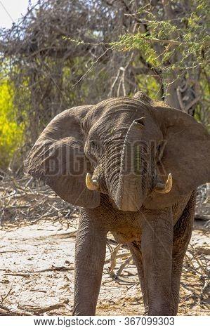 A Solitary Elephant Raises Its Trunk Towards The Camera. Namibia.