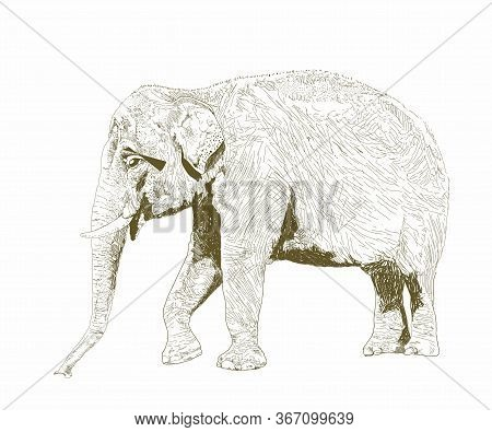 African Safari Animal. Indian Elephant. Hand Drawn Sketch Black And White Vintage Exotic Tropical El
